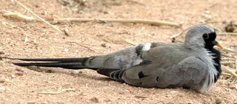 Капская горлица (Oena capensis)
