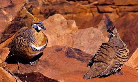 Острохохлый каменный голубь (Petrophassa plumifera)