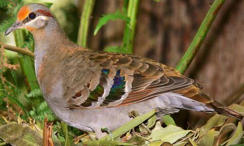 Галапагосская горлица (Zenaida galapagoensis)