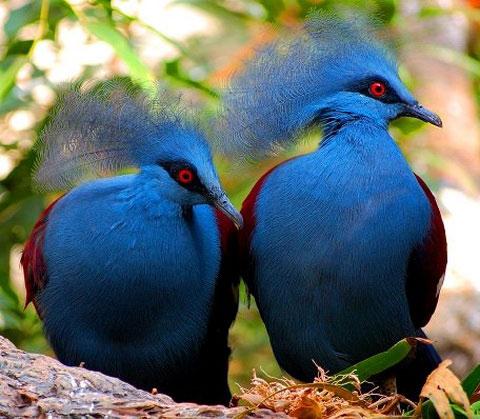 Веероносный венценосный голубь (Goura victoria)