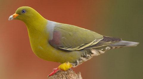 Африканский зеленый голубь (Treron calva)
