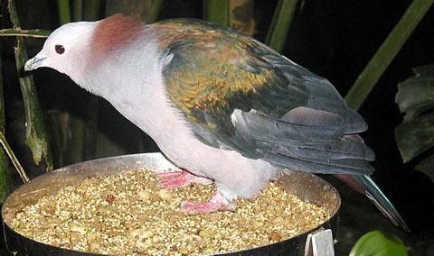 Мускатный голубь (Ducula aenea)