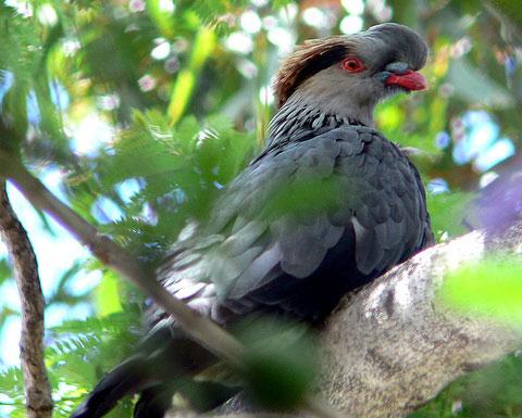 птицы с хохолком фото как они называются едят рябину.