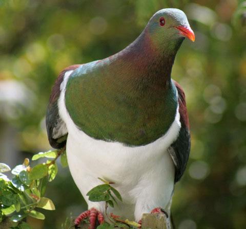 Новозеландский голубь (Hemiphaga novaeseelandiae)