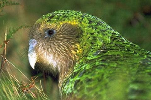 Совиный попугай (Strigops habroptilus)