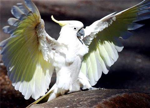 Большой желтохохлый какаду (Cacatua galerita)