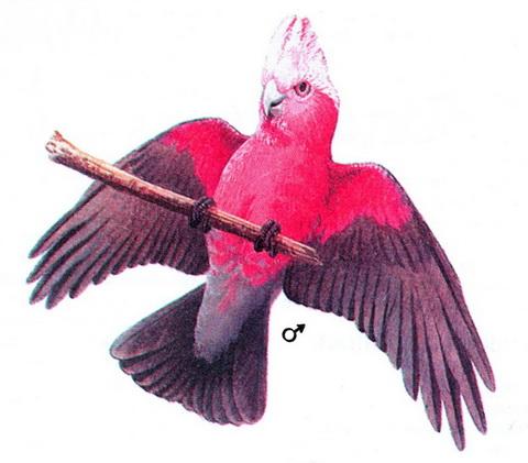 Какаду-гала, или розовый какаду (Eolophus roseicapillus)