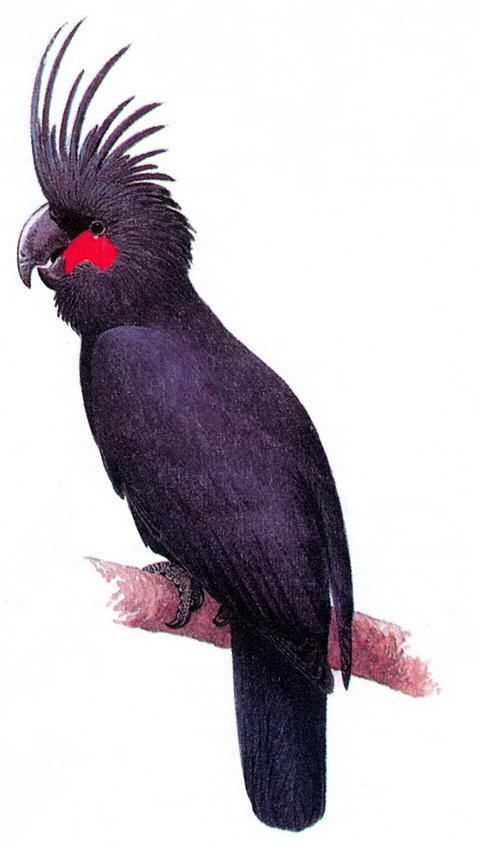 Пальмовый какаду (Probosciger aterrimus)