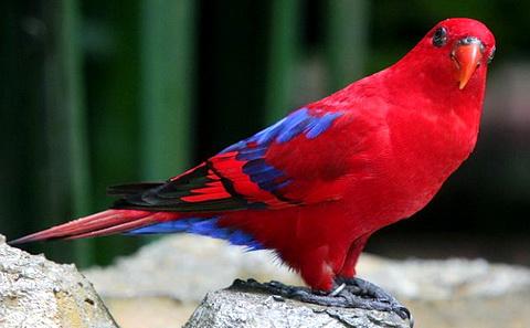 Красный лори (Eos bornea)