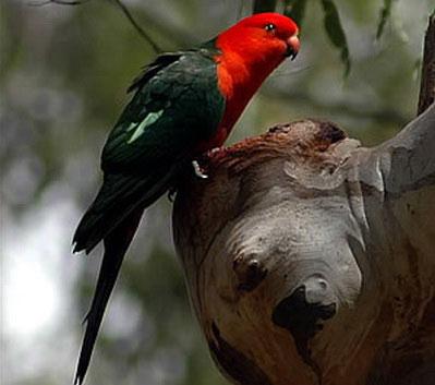 Краснощекий попугай жоффруа (Geoffroyus geoffroyus)