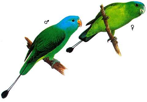 Синешапочный ракетохвостый попугай (Prioniturus discurus)