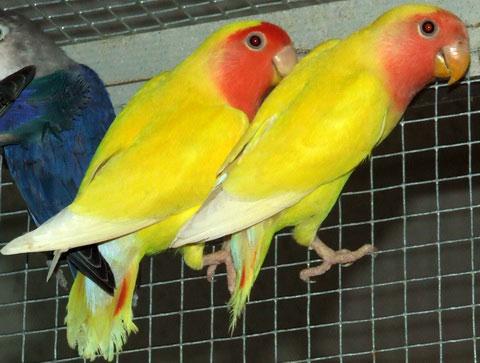 Краснолобый прыгающий попугай (Cyanoramphus novaezelandiae)