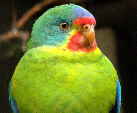 Ласточковый попугай (Lathamus discolor)