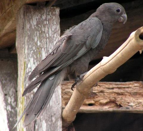 Большой попугай-Ваза (Coracopsis vasa)