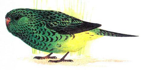 Ночной попугай (Geopsittacus occidertalis)