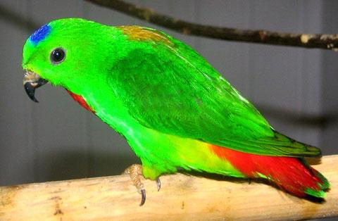 Синеголовый висячий попугайчик (loriculus galgulus)