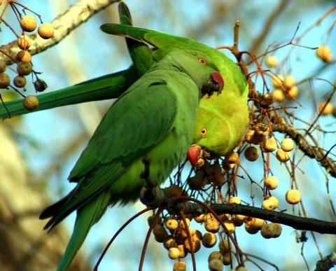 Индийский кольчатый попугай (Psittacula krameri)