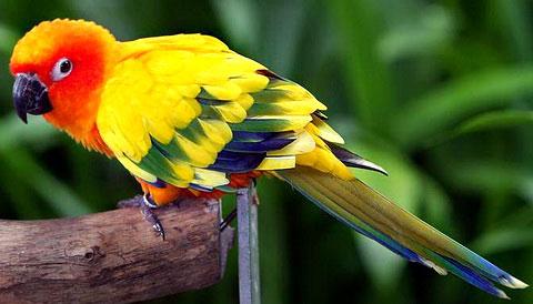 Солнечная аратинга (Aratinga solstitialis)