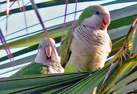 Попугай-монах (Myiopsitta monachus)
