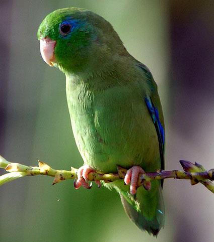 Очковый воробьиный попугайчик (Forpus conspicillatus)