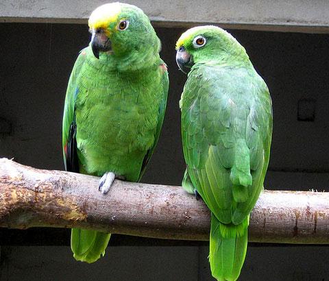 Суринамский амазон (Amazona ochrocephala)