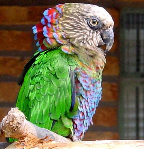 Веерный попугай (Deroptyus accipitrinus)