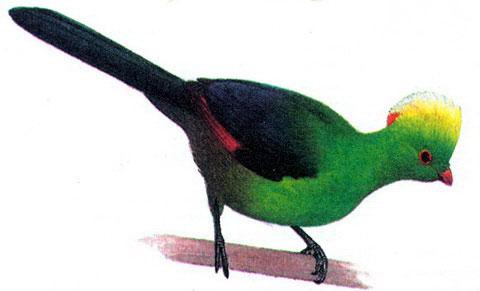 Русполиев турако (Tauraco ruspolii)