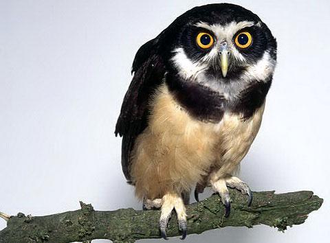 Очковая неотропическая сова (Pulsatrix perspicillata)