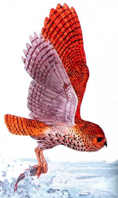 Полосатая рыбная сова (Scotopelia реli)