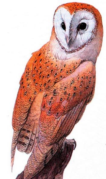 Обыкновенная сипуха (Tyto alba)