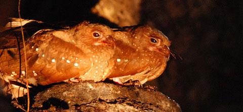 Гуахаро (Steatornis caripensis)