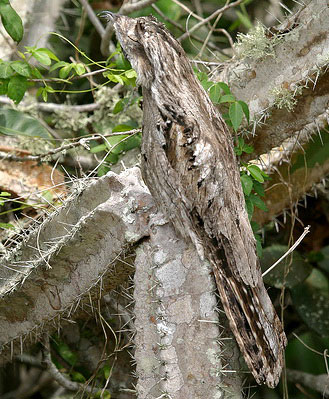 Серый лесной козодой (Nyctibius griseus)