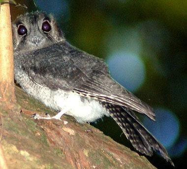 Австралийский совиный лягушкорот (Aegotheles cristatus)