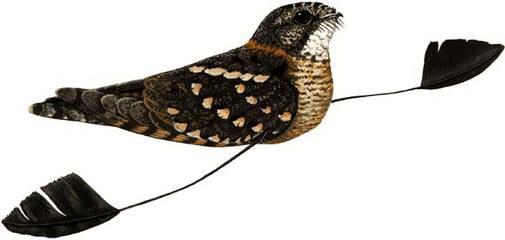 Четверокрыл (Macrodipteryx longipennis)