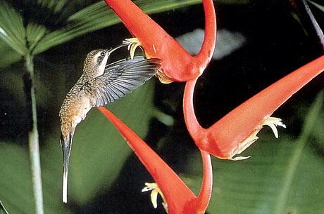 Длиннохвостый колибри-отшельник (Phaethornis superciliosus)