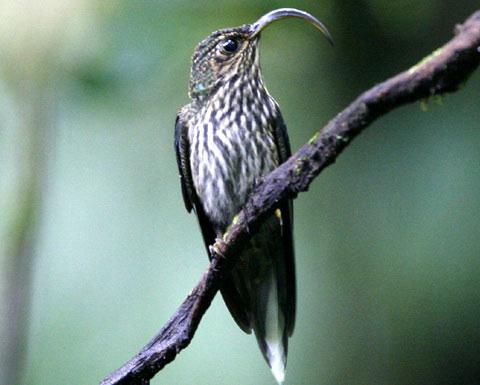 Орлиноклювый колибри (Eutoxeres aquila)