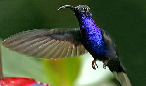 Пурпурный саблекрыл (Campylopterus hemileucurus)
