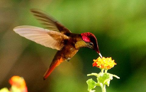 Рубиновый колибри (Chrysolampis mosquitus)
