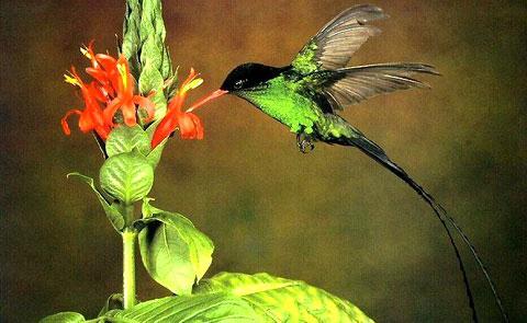 Вымпелохвостый колибри (Trochilus polytmus)