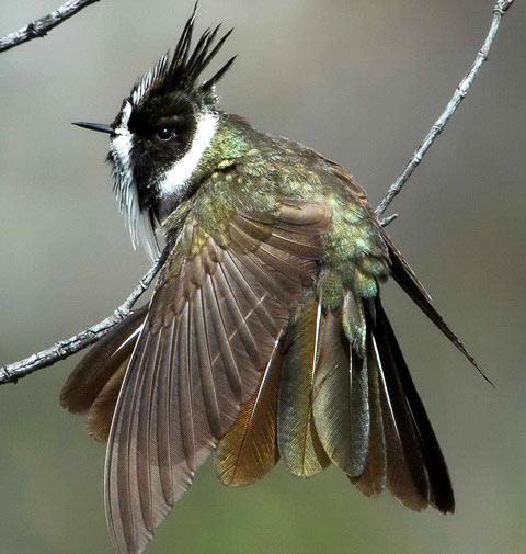 Шлемоносный колибри (Oxypogon guerinii)