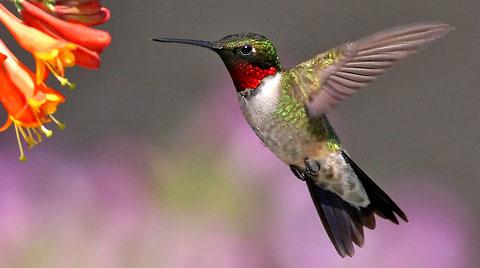 Рубиновогорлый колибри (Archilochus colubris)