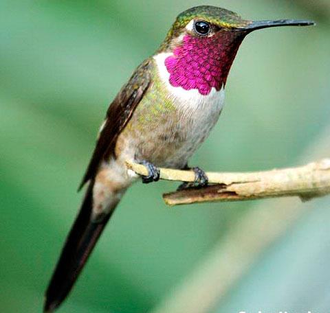 Аметистовый колибри (Calliphlox amethystina)