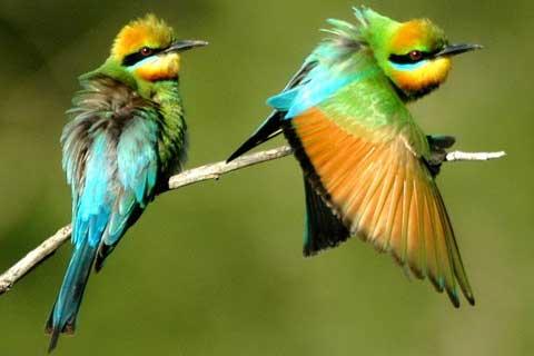 Радужная щурка (Merops ornatus)