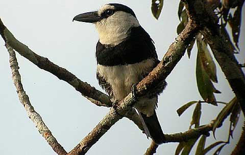 Бурошапочная пуховка (Notarchus macrorhynchos)