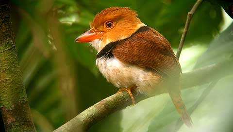Ошейниковая пуховка (Bucco capensis)