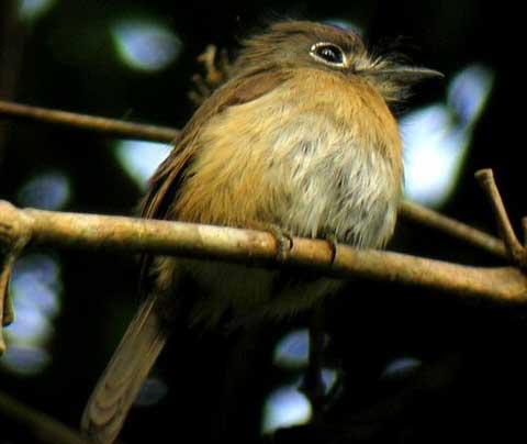 Красногорлая пуховка (Nonnula rubecula)