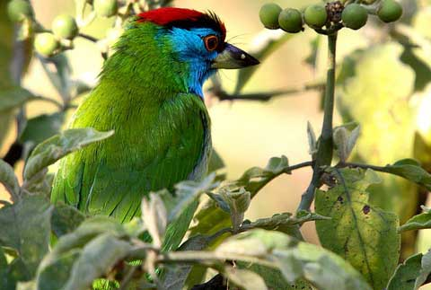 Голубощекий бородастик (Megalaima asiatica)