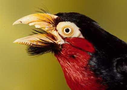Двухзубцовый бородастик (Lybius bidentatus)