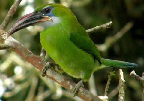 Голуболицый туканет (Aulacorhynchus sulcatus)