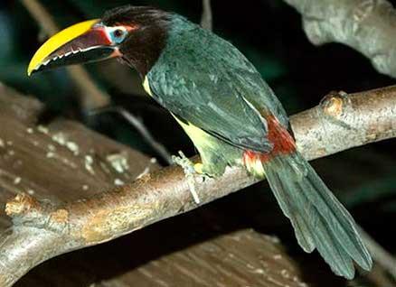 Зеленый арасари  (Pteroglossus viridis)